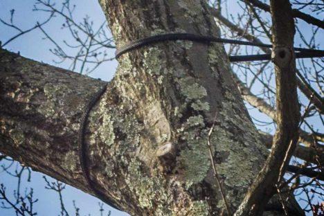 Tree Bracing & Cabling