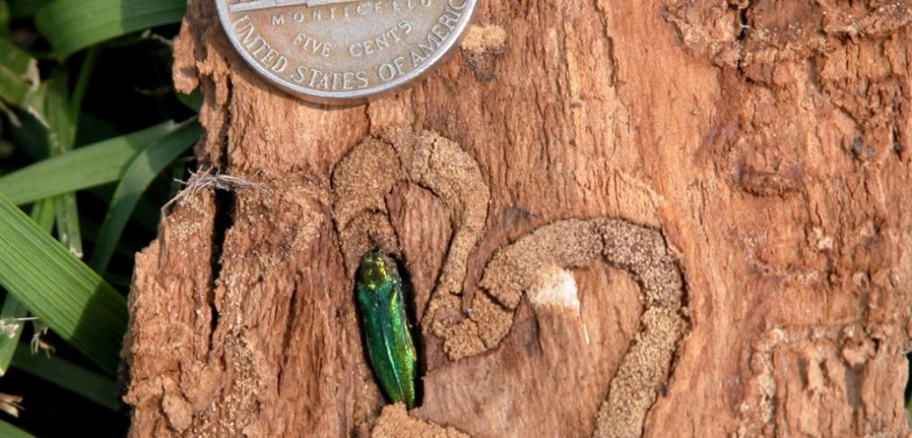 emerald ash borer instect next to nickel