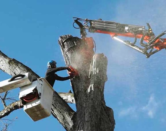 Large Oak Tree Removal