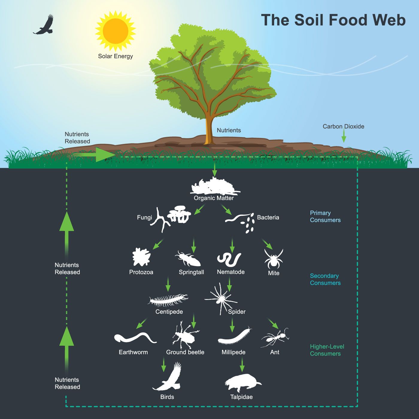 diagram of soil food web