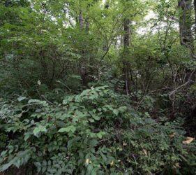 invasive honeysuckle shrubs