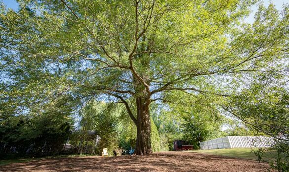 Pruning and Mulching Under Large Willow Oak [video]