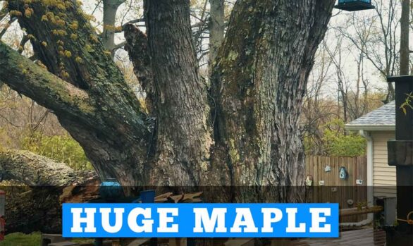 Huge Maple Safely Removed In All Day Rain [video]