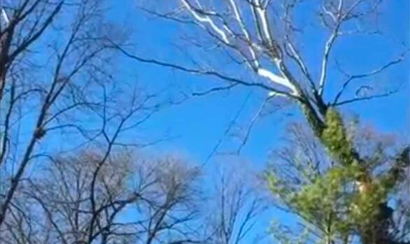 Sycamore tree removal [video]