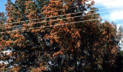 oak tree damaged by cicadas