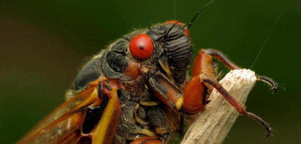 Cicada - Brood X close up