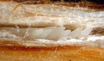 Cicada eggs in branch slit