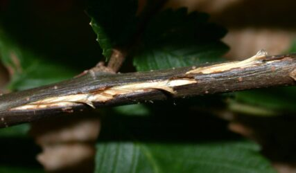 stem damage from cicada egg laying
