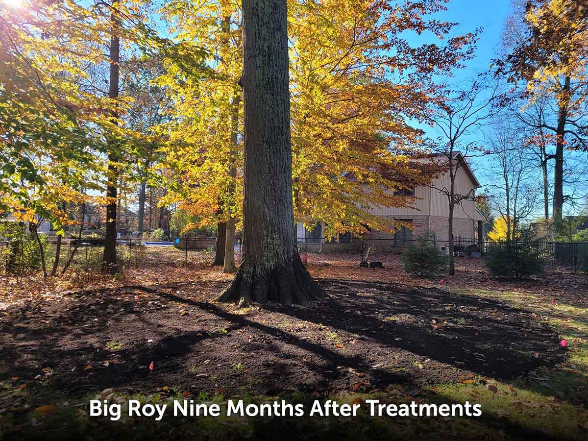 oak tree after certified arborist treatments
